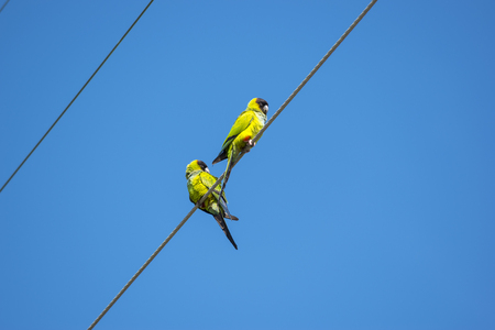 birds on a wire: The nanday parakeet Aratinga nenday also known as the black-hooded parakeet or nanday conure perched on an electric wire. Wild birds of Florida. Stock Photo
