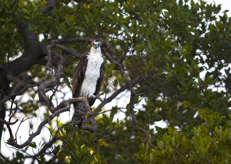 wing span: Osprey Bird looking directly into the camera Birds of Florida