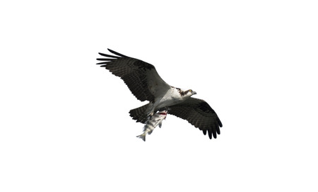 talons: Osprey Bird in Flight Carrying a fish in its talons isolated over white background