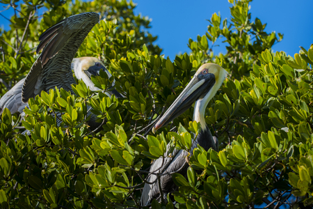 pelicans: Two Eastern Brown Pelicans in the tree Stock Photo