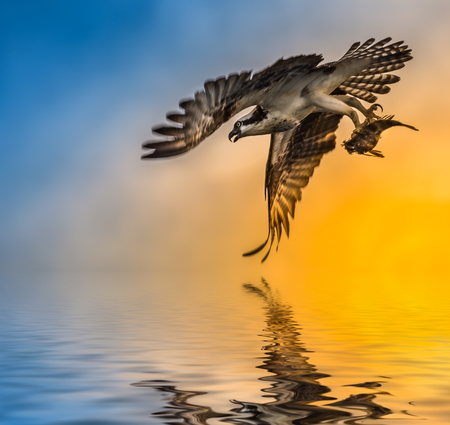 osprey bird: Osprey Bird with fish in flight over sunset Stock Photo