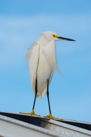roof profile: White Egret standing on a metal roof profile against blue sky