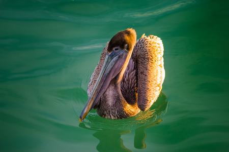 water birds: Brown Pelican in the water Birds of Florida