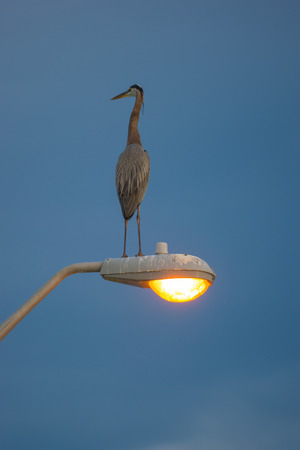 lamp post: Great Blue Heron standing on lamp post