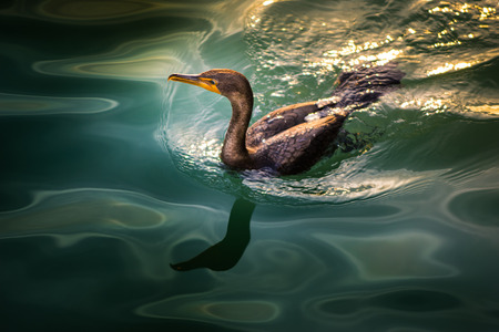 phalacrocoracidae: Cormorant Bird in the Water photographed from above