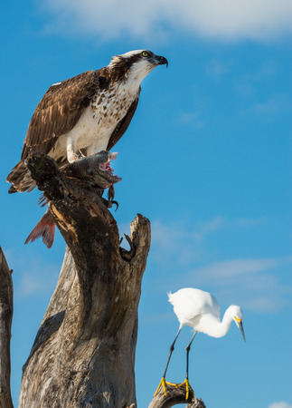 bird eating raptors: Osprey Pandion haliaetus eating fish close-up Florida USA Stock Photo