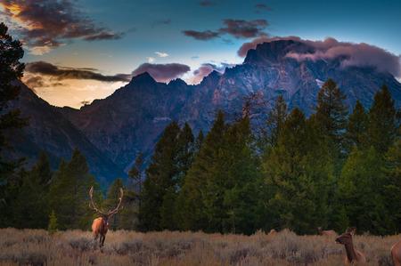 teton: Grand Teton Elks near the road at Sunset