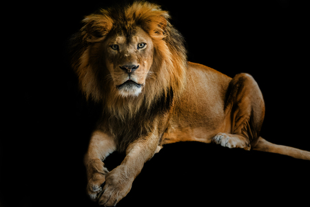 majestic: Lion - adult male wild cat looking directly into the camera, isolated over black background Stock Photo