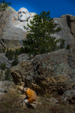 'mt rushmore': Wild Marmot sitting near Mt Rushmore South Dakota