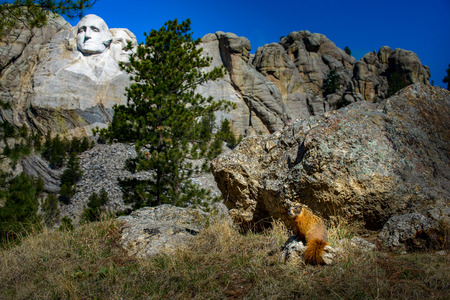 thomas stone: Wild Marmot sitting near Mt Rushmore South Dakota