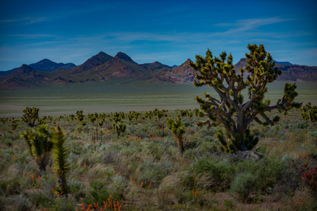 Joshua Trees and Wild Flowers near the road in Nevada