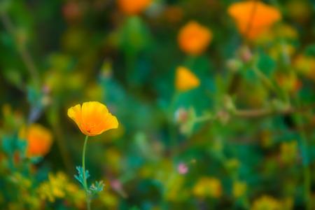 California Poppy flowers Eschscholzia californica close-up