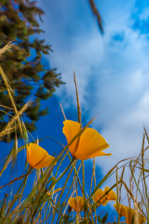 big sur: California Poppy flowers Eschscholzia californica from the ground up Stock Photo
