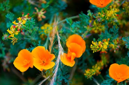 big sur: California Poppy flowers Eschscholzia californica close-up