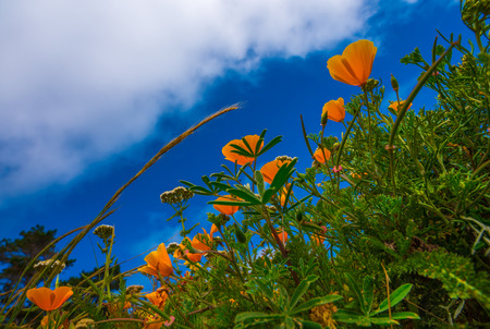 mcway: California Poppy flowers Eschscholzia californica from the ground up Stock Photo