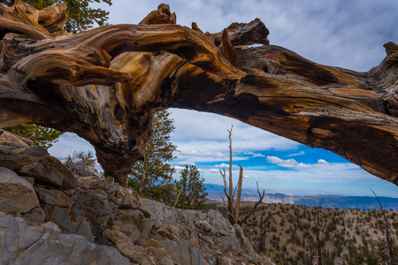 bristle: Bristle Cone Pine Inyo National Forest White Mountains