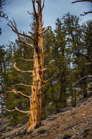 inyo national forest: Bristle Cone Pine Inyo National Forest White Mountains