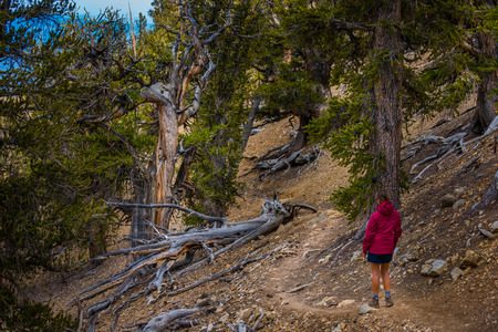 inyo national forest: Hiker Tourist on Methuselah Trail Bristlecone Pine forest State Park California Stock Photo