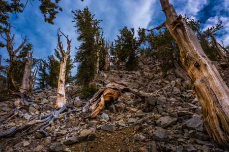 bristlecone: Bristle Cone Pine Inyo National Forest White Mountains