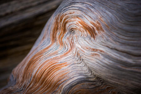 inyo national forest: Bristlecone Pine Wood rings close-up background pattern Oldest Trees on Earth