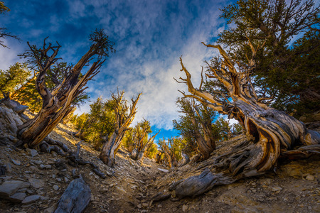 inyo national forest: Bristlecone Pine Inyo National Forest White Mountains Stock Photo