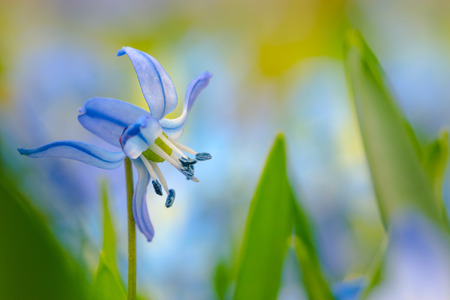 Spring Flowers Background Scilla Flower Close-up with copy space Stock Photo