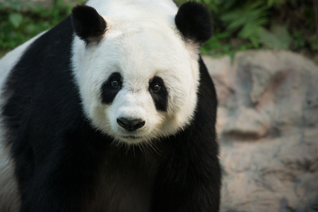 Giant Panda Ailuropoda melanoleuca looks directly towards the camera
