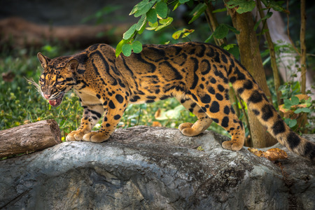 Clouded Leopard Neofelis nebulosa in it's natural habitat