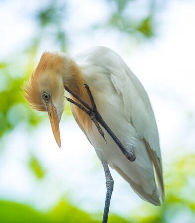 Eastern cattle egret bird Bubulcus coromandus scratching its neck