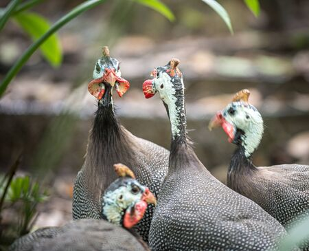 Flock of Helmeted Guineafowl Birds Numida meleagris,
