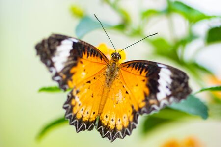Malay lacewing, Cethosia hypsea Single Butterfly Close-up Stock Photo