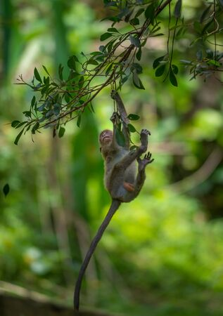 Crab eating macaque, Macaca fascicularis,Baby monkey hangs down the tree branch Banco de Imagens