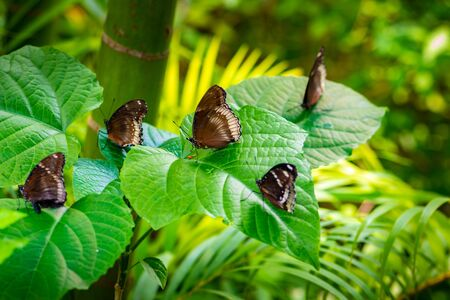 Great eggfly, blue moon butterfly, Hypolimnas bolina, female and male on a leaf Фото со стока