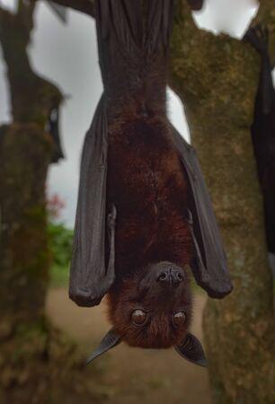 Large flying fox or Fruit Bat, Pteropus vampyrus in Bali, Indonesia Stock Photo