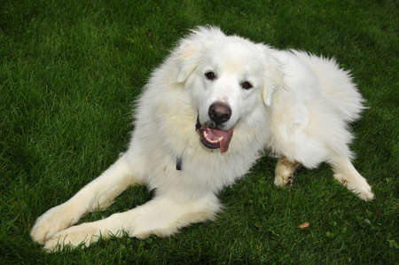 great pyrenees: White Dog