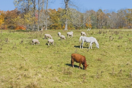 Cow horse and sheep grazing on grass in a farm field fall Maine   photo