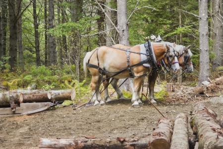Pair of horses waiting to pull logs in woods of Maine