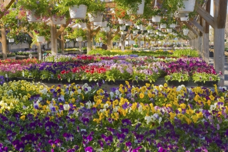 Spring Pansies Petunias and Violets ready for sale