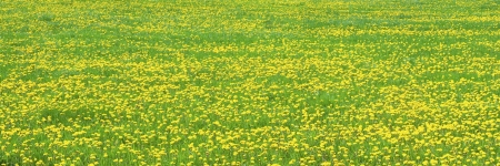 ferm: Dandelions blooming in spring farm field  maine