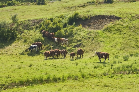 Herd of cows grazing on hill in a Maine farm field summer