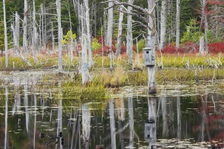 arboles secos: �rboles muertos que reflejan en un estanque de castor Maine