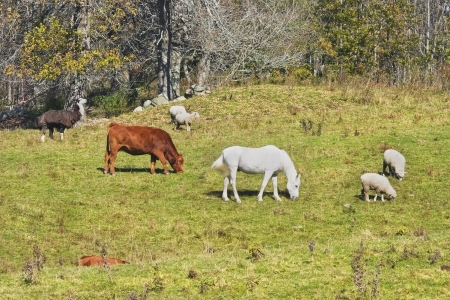 Cow horse and sheep grazing on grass   photo
