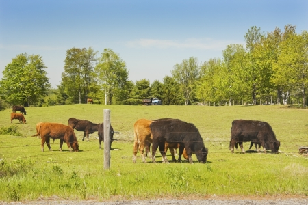 Cows grazing on grass in a farm field spring   Stock Photo