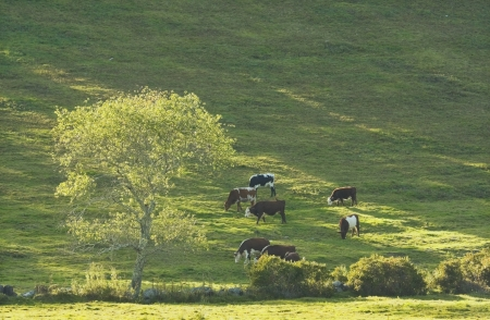 Cows on hillside in a farm field summer rockport Maine