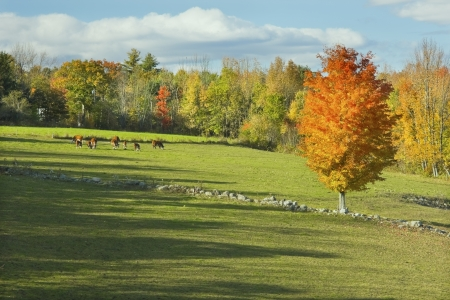 Cows grazing on grass in a Maine farm field   photo