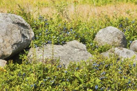 rockwall: Ripe Maine low bush wild blueberries ready for harvest