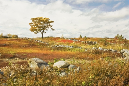 rockwall: Single tree and rock wall in colorful Maine blueberry field