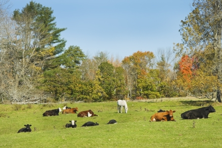 Cows and horse grazing on grass in a farm field autumn Maine   photo