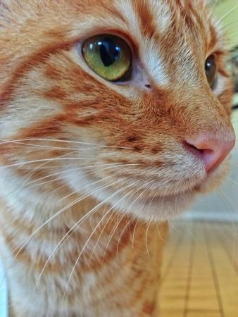 A closeup profile of an orange tabby cat