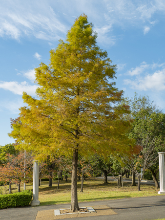 a beautiful Metasequoia 版權商用圖片